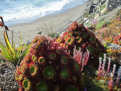 Seamist's succulent  garden overlooking the Pacific and the beach below.