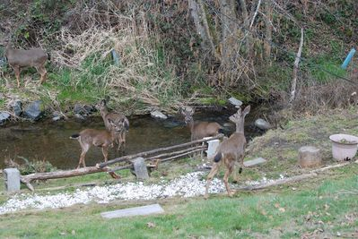 A creek in the front yard as deer often visit to drink Olympic Mountain water!