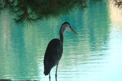 This Blue Heron is one of the 'residents' of your backyard!