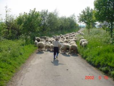 moving the sheep down the lane