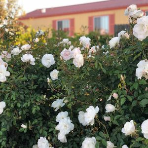 The rose lined drive in front of the Orchard House welcomes you!