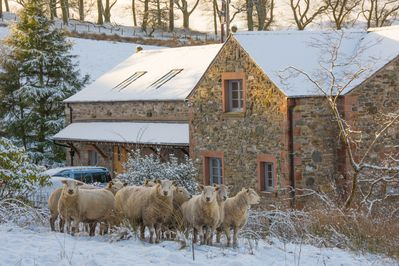 Sheep outside The Granary in the snow