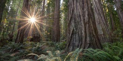 Magestic Redwoods sure to delight!