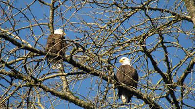 Eagles perch in our trees while the salmon are spawning November - January!
