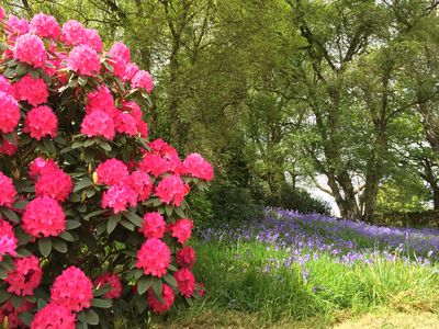 Stunning Bluebells and Rhododendrons surround the Cottage in Spring