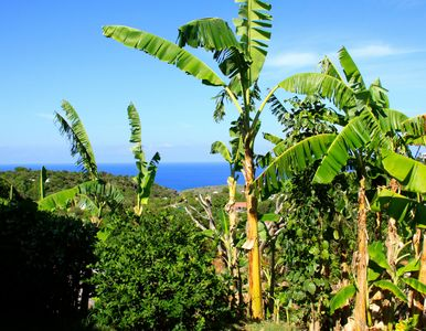 Banana trees and ocean view