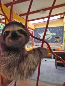 Sammie the sloth is checking out the Tortuga Cabina!