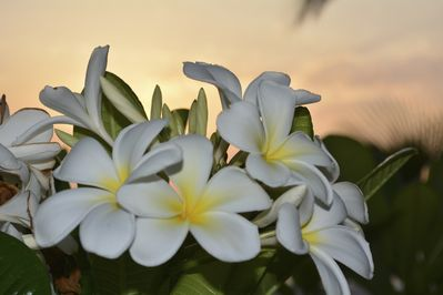 Plumeria blossoms from one of our trees