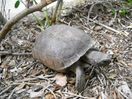 This gopher turtle is one of the two permanent inhabitants of this property!