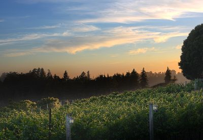 Evening vineyard view from guest house