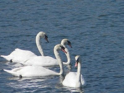 Watch magnificent  swans go by in front of you.