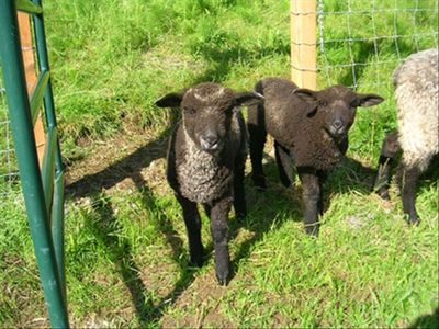 4 New Lambs Born May '