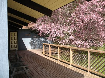 Spring Cherry Bloom - A flowering north-east exposure on the entry deck.