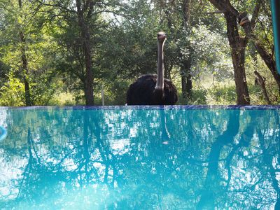 Ostrich checking out the pool