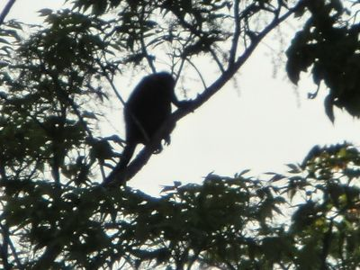 Enjoy of the animals, sometimes the monkeys pass by the trees in Pacifico Resort