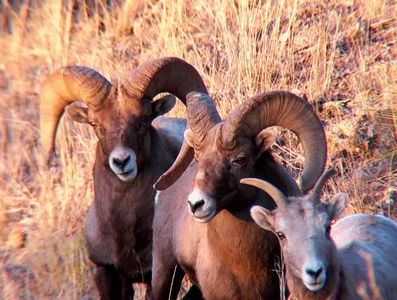 Rocky Mountain Bighorn along Bear Creek near your cabin at New Mexico Cabin Rentals.