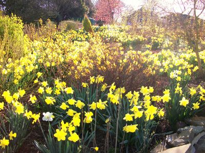 The Daffodils in Spring Time