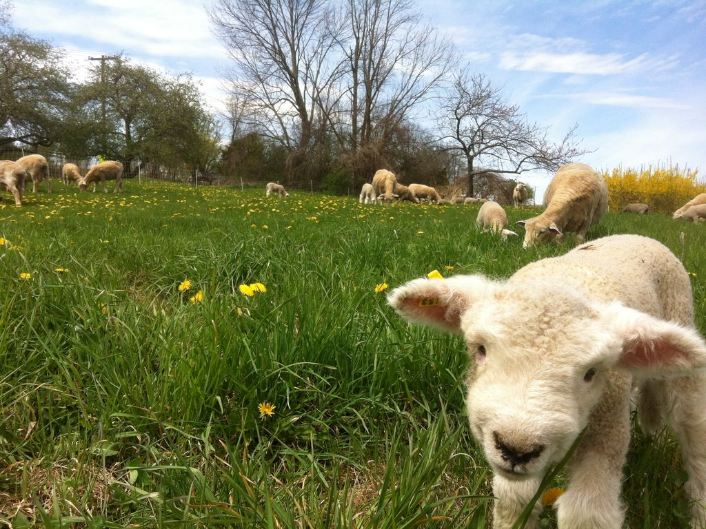 Image result for the lamb will graze in spacious meadows, photos