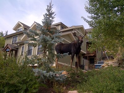Another visiting moose