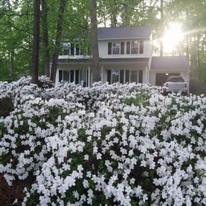 Each year on Masters week Azalea blooms explode all over the property.