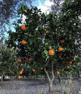 Photo for Country house surrounded by orange groves