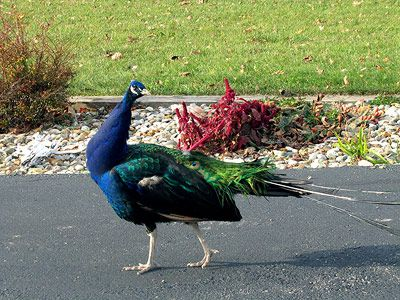 Farm peacock ... you also might see our chickens.