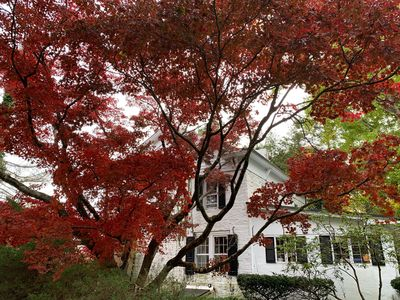 100 year old ornamental Japanese Maple tree in the Fall.