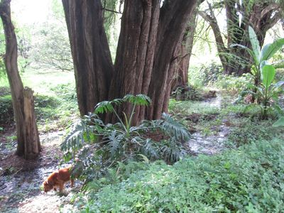 Old Ahuehuete Trees and Tico the Golden