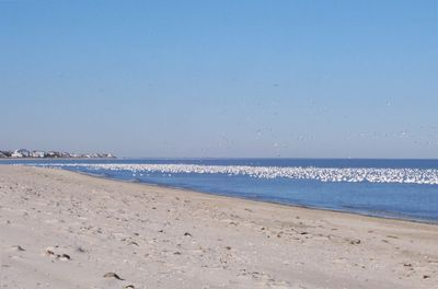 Snow geese on the beach in November