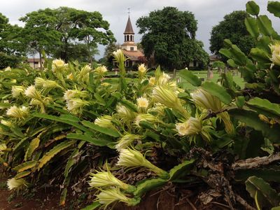 Queen Liliuokalani Church with Night Blooming Cereus in Haleiwa