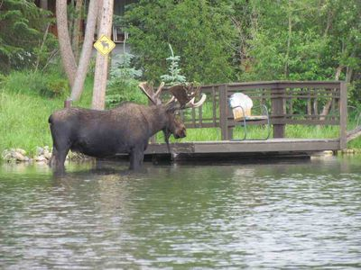 Bull moose checking out our cabin dock. Come join him at our Moose Lake Chalet.