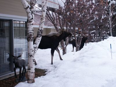 Several Moose up Close and Personal finishing off the Crabapples