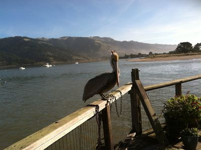 Pelican on our back deck