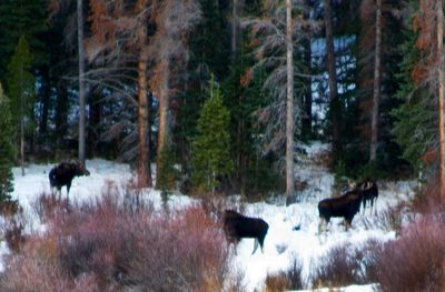 Moose seen from our balcony.