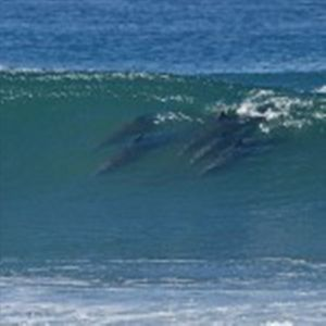 Five dolphins catching some awesome waves in front of our home.