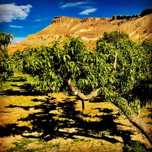 Those slow afternoons spent wine tasting and fruit shopping in Palisade...