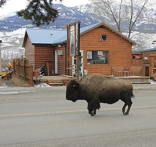 A bison swings by The Silvertip Lodging.Yellowstone Park in the back ground!!