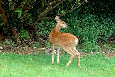 Deer on the back lawn