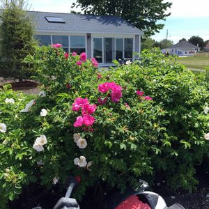 Sea Roses in bloom, showing part of the cottage facing the waterfront. Patio.