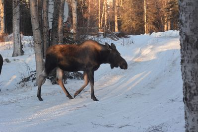One of our resident moose!