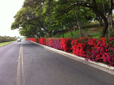 Kili drive and the gorgious bouganvilea hedge in front of the towers.