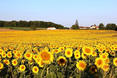 Sunflower fields with the house in the distance