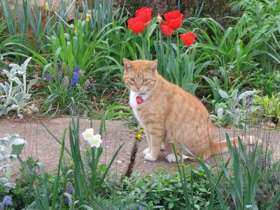Mr. TJ and the tulips.  Our friendliest kitty!