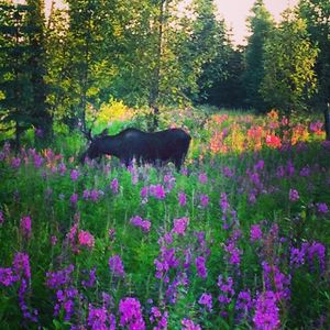 A young bull moose near the lodge eating fireweed.