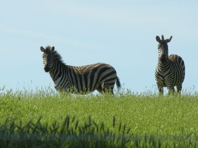 Our Zebras, Marty and Bell.