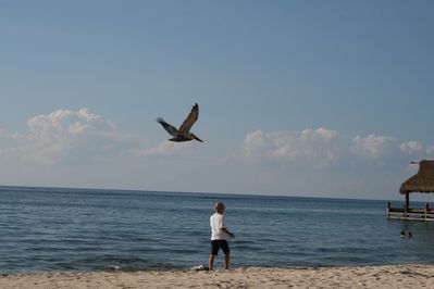 Love to watch pelicans?  Just pull up a chair--or go on a run with them.