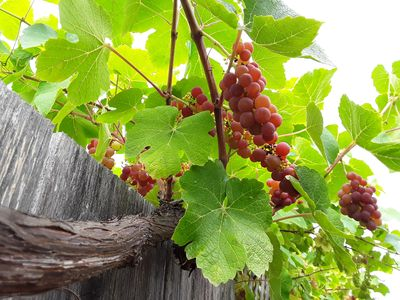 Enjoy sun-ripened fruit in season. Grapes are ripe right now (rest of Sept)!