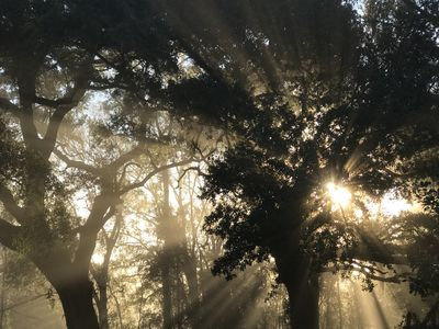 Eastern sun coming up through the Oaks