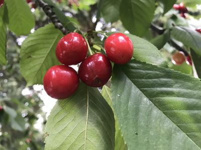 Back yard cherries ready for picking the first few weeks of July