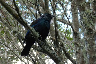 Tui in the maple tree